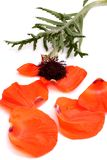 Petals poppy Stock Photography