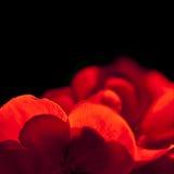 Petals of red geranium Stock Photography