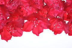 Petals of red rhododendron Stock Photo