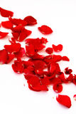 Petals of a red rose Stock Image