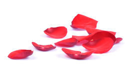 Petals of a red rose isolated royalty free stock image