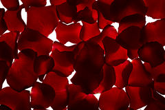 Petals of red rose Stock Image