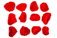 Petals of a red rose. The isolated red rose-petals on a white background close up Royalty Free Stock Photos