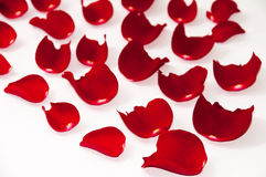 Petals of red rose over white background Stock Image