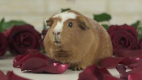 Petals of red roses fall to guinea pigs breed Golden American Crested slow motion stock footage video stock video