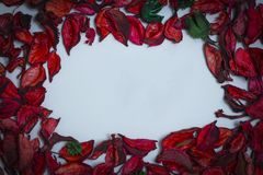 petals of red roses on a white background royalty free stock photography
