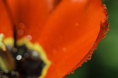 Petals of red tulip with water drops Royalty Free Stock Photos