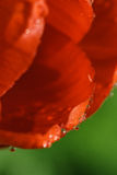 Petals of red tulip with water drops. In high resolution royalty free stock photo