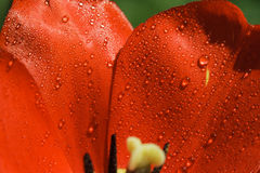 Petals of red tulip with water drops. In high resolution royalty free stock image