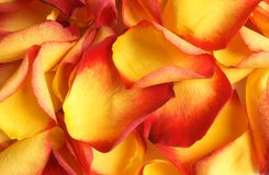 Petals of rose. Closeup petals of rose, yellow and red Stock Images