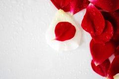 Petals of rose Stock Photo