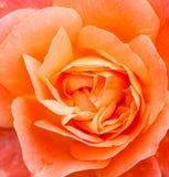 Petals of  a rose Stock Image