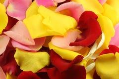 Petals of a rose. Stock Photos
