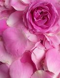 Petals rose for birthday, background stock images