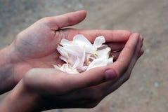 Petals of Rose. Closeup of a girl's hands holding petals stock image