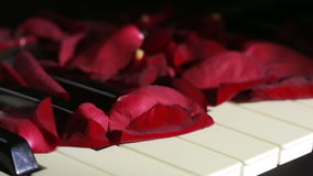 Petals of rose on piano keys. wind blows away the rose petals stock video