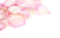 Petals of rose Stock Image