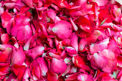 Petals of  rose. Stock Photography