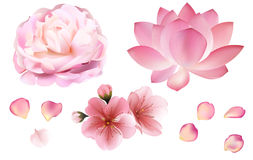 Petals and rose, sakura, peony and lotus flowers on white background Royalty Free Stock Images