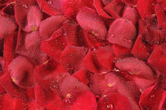 Petals of roses are in drops. Of water as background Royalty Free Stock Photo