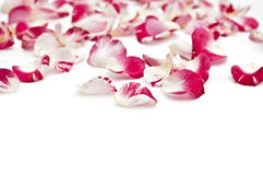 Petals of roses Royalty Free Stock Image