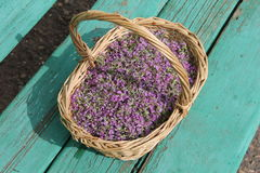 Petals Siberian plant thyme in a wicker basket. Pink petals Siberian plant thyme in a wicker basket Royalty Free Stock Photo