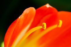 Clivia miniata flower in close-up. Petals and stamens of a Clivia miniata flower in close-up royalty free stock images