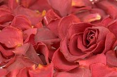 petals steg Royaltyfri Bild