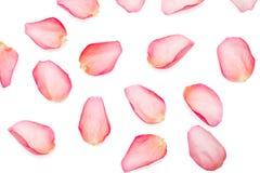 petals steg Royaltyfri Fotografi