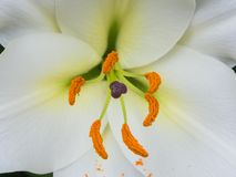 Petals, stigma and anthers of a white lily. Close-up of petals, stigma and orange anthers of a white lily with focus on anthers Stock Images