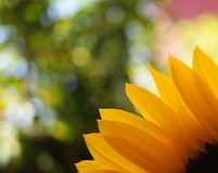 Petals of a sunflower Stock Photography
