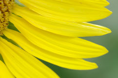 Petals of sunflower Stock Photography