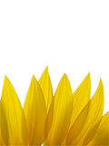 Petals of Sunflower isolated on white background Royalty Free Stock Photos