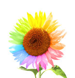 Petals of a sunflower painted in different colors Royalty Free Stock Image