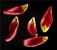 Petals tulip vector illustration Stock Photo