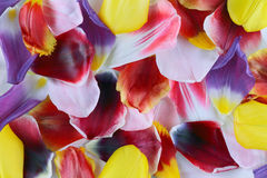 Petals of tulips Stock Images