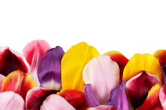 Petals of tulips. Multicolored petals of tulips on white background Royalty Free Stock Photo