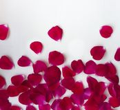 Petals uneven distribution from higher to smaller from bottom to top falling out flying rose red on white background royalty free stock photography