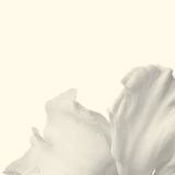 Petals of a white narcissus Royalty Free Stock Image