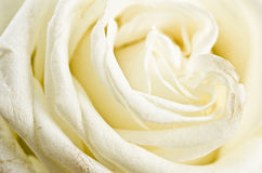 Petals of a white rose Royalty Free Stock Photo