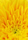 Petals of a yellow flower Stock Photography