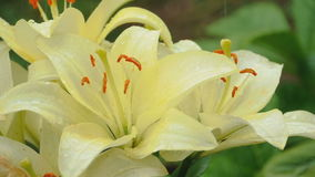 Petals of yellow lily under rain stock video