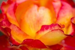 Petals of yellow and red rose macro. Petals of yellow and red rose with raindrops macro royalty free stock image