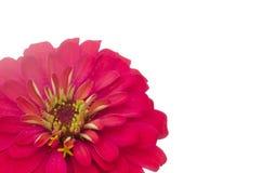 Petals Zinnias Royalty Free Stock Images