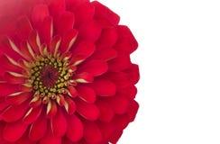 Petals Zinnias Stock Image