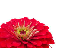 Petals Zinnias Royalty Free Stock Image