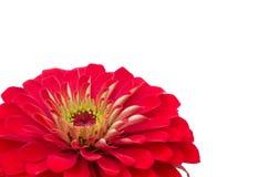 Petals Zinnias Royalty Free Stock Image