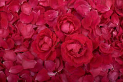 Petalsof roses Royalty Free Stock Photo
