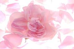 petalspink fotografering för bildbyråer