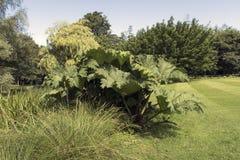 Petasites gigante em um parque dinamarquês Fotografia de Stock